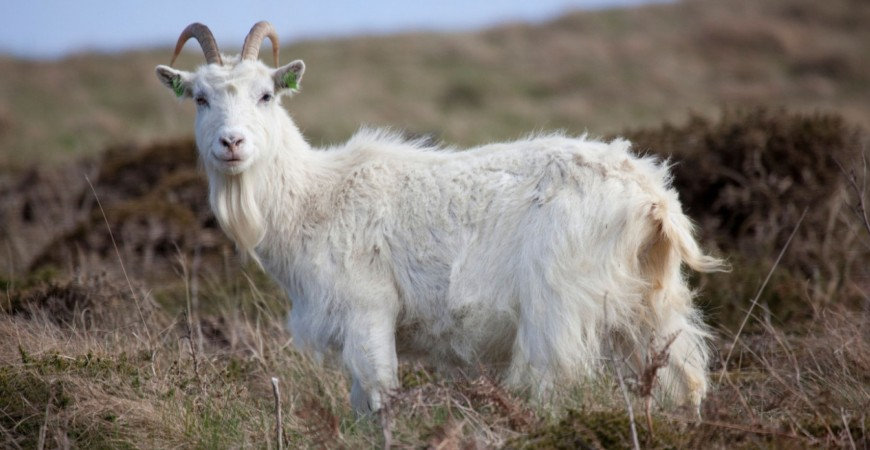 ABOUT THE CASHMERE GOAT